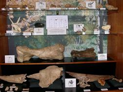 Display case full of fossils from the Ice Age period